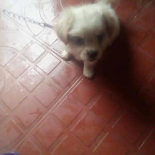 Bán chó của nguyenan442 tại Trần Hưng Đạo, Thành Phố Đồng Hới, Quảng Bình - 1277387