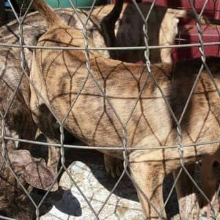 Bán chó Phú Quốc của trantrung02 tại Hồ Chí Minh - 3104079