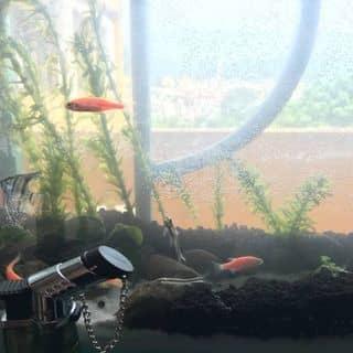 Bể cá thuỷ sinh của luongchi888 tại 17 tổ 3 phường Sông Bằng, Thị Xã Cao Bằng, Cao Bằng - 915828