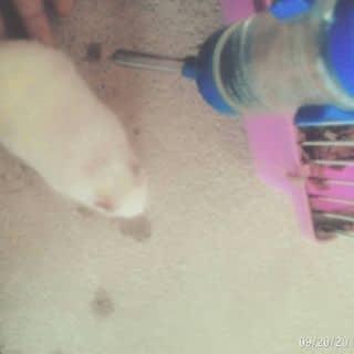 BÉ hamster bear khỏe mạnh, thuần chủng và rất dễ nuôi của ngokhanh12 tại Thái Nguyên - 932091