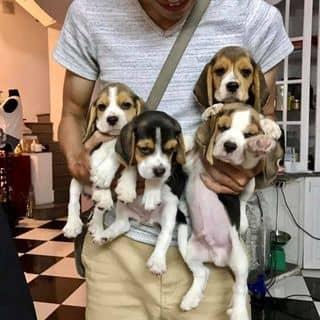 Beagle của nilanars.s tại Hồ Chí Minh - 3231184