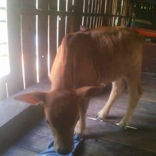 Bò giốg của krixt tại Phú Yên - 3294731