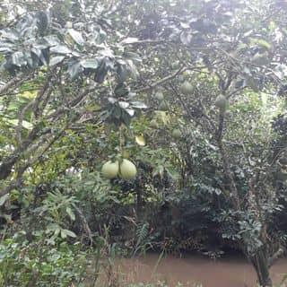 Buoi nha vuon của thuynhi77 tại Vĩnh Long, Thành Phố Vĩnh Long, Vĩnh Long - 4246779