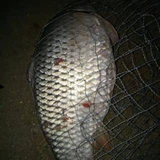 Ca chép ở  hồ  na điểu  vừa  mới  câu  Lên  song được  5,5kg của 150390 tại Phùng Chí Kiên, Thị Xã Bắc Kạn, Bắc Kạn - 5358083