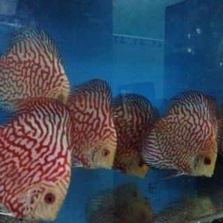 Cá Dĩa của fishshop tại Bình Thuận - 2889707