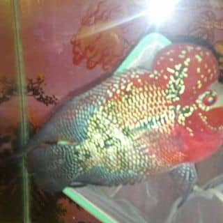 Cá la hán của dieuuoc1 tại 33 Lê Lợi,  TT. Mỹ Xuyên, Huyện Mỹ Xuyên, Sóc Trăng - 1562892