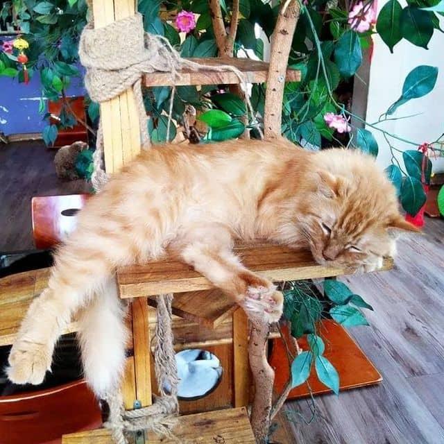 Cafe mèo của Hiếu Mai tại Ailu Cat House Cafe - Cafe Mèo - 49502