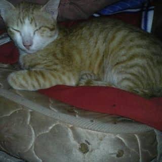 cần bán mèo của lng7890 tại Đồng Nai - 1458575