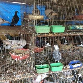 Chim bồ câu của langkhoang147 tại Bờ Hồ Na Cồ, Huyện Bắc Hà, Lào Cai - 3107294