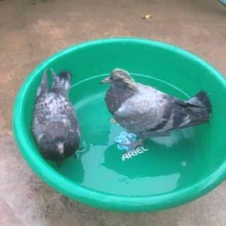 Chim bồ câu của baosinh1 tại Chợ Hạ Long 2, Thành Phố Hạ Long, Quảng Ninh - 1084552