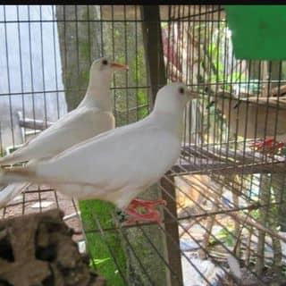 Chim cu gáy của ngotrang90 tại Khu 10 thi tran ha hoa huyen ha hoa tinh phu tho , Huyện Hạ Hoà, Phú Thọ - 2425204