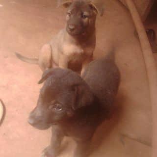 Chó bẹc dê dễ thương :-* của trangnguyen992 tại 24 Lê Lợi, Thành Phố Pleiku, Gia Lai - 1128954