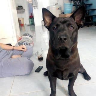 Chó mực giống lùn của bichngoc620 tại Hồ Chí Minh - 2828638