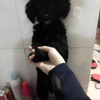 Chó Poodle của oanhml1999z tại Bắc Giang - 1258795