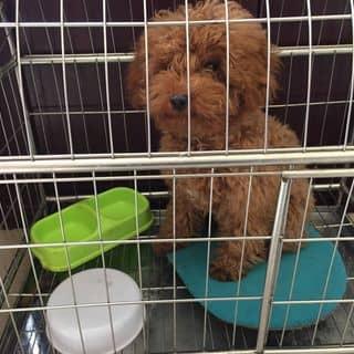 Chó Poodle đực của tuanco5 tại Thái Bình - 2747982