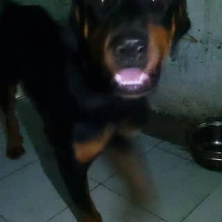 Chó ROT Cái của quynh1312 tại Hồ Chí Minh - 1518743