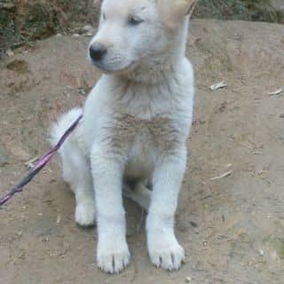 Chó trắng của 0941127934 tại Hà Khẩu, Thành Phố Lào Cai, Lào Cai - 2126389