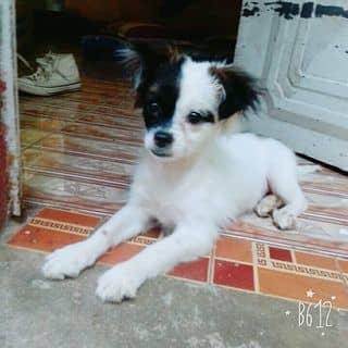 Chú chó misa của 0869126121 tại Shop online, Huyện Ngã Năm, Sóc Trăng - 3465806