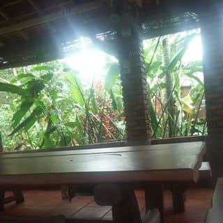 Chuối cãnh sân vườn của glduc tại 439 Ngô Quyền,  Xã Trà Đa, Thành Phố Pleiku, Gia Lai - 3586786