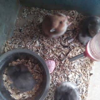 Chuột hamster của hoangthien62 tại 24 Lê Lợi, Thành Phố Pleiku, Gia Lai - 963387