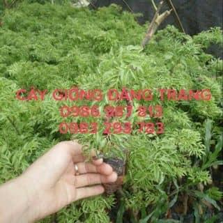 Đinh lăng giống của trangnguyen1078 tại Vĩnh Phúc - 1404777