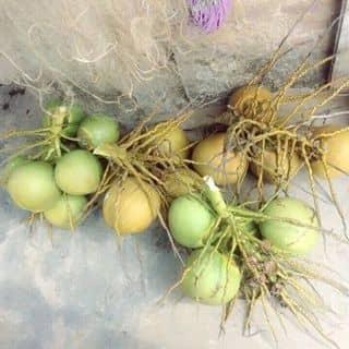 Dừa của thuyenvv tại Đằng Hải, Quận Hải An, Hải Phòng - 2532918