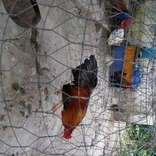 ga da của khoatrandang8 tại Shop online, Huyện Châu Thành, Tiền Giang - 2996898