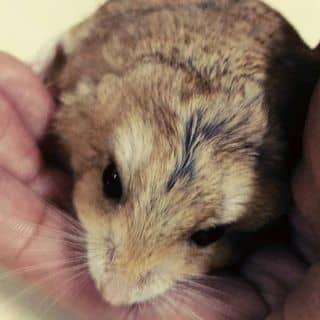 Hamster của hamsterlozi tại Hồ Chí Minh - 3464045