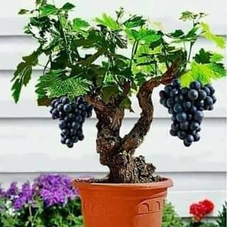 Hạt giống cây  của thononga tại Bắc Kạn - 3782586