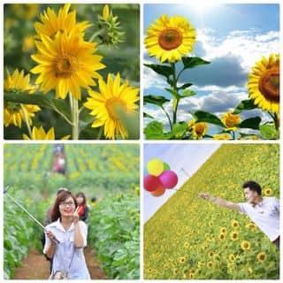HGH Hướng dương cao vàng nhiều hoa của sieuthihatgiong tại Quảng Ninh - 967127