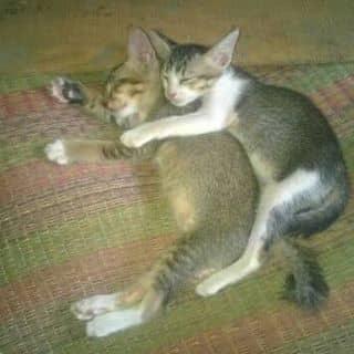 Mèo con lông vàng cực dễ thương của chuot2k1 tại Bến xe Cà Mau, Thành Phố Cà Mau, Cà Mau - 1250381