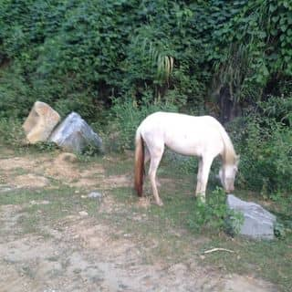 Ngựa bạch của caduongdai tại Thị trấn Sapa, Huyện Sa Pa, Lào Cai - 1106513