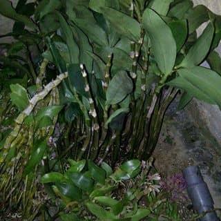 Phong lan rung của buihai29 tại 188 Phan Chu Trinh, Quận Hải Châu, Đà Nẵng - 1445506