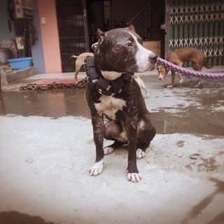 Pitbull đực 16 tháng 24kg của tonihungtoni tại Lào Cai - 2941323