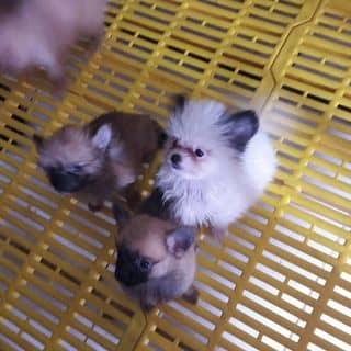 Pom thuần chủng 2 tháng của luuluumiimii tại Hồ Chí Minh - 1453746