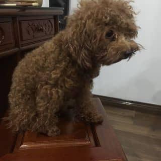 Poodle tiny cái của nhiiman5 tại Hải Phòng - 3024170