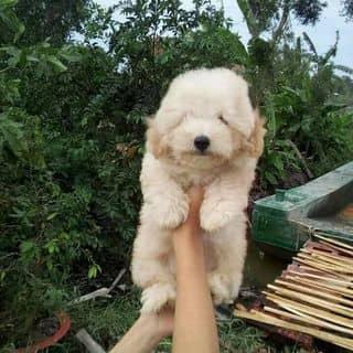 Poodle toy cái của tranphuonglinh21 tại Hồ Chí Minh - 3446681