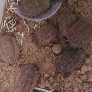 Rùa lá của ngocdu9 tại Cao Bằng - 1048348