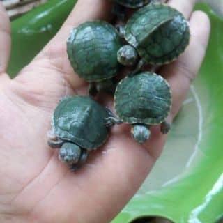 Rùa mini của qwerty121 tại Ninh Bình - 1452875