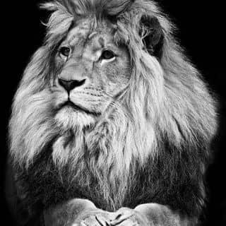Sư tử của duongmuoi1 tại Cà Mau - 1189821