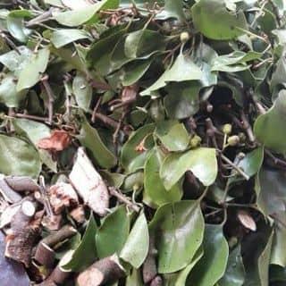 Tầm gửi cây gạo của nguyennam717 tại Vĩnh Yên, Thành Phố Vĩnh Yên, Vĩnh Phúc - 1416790