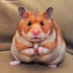 hamster trên LOZI.vn